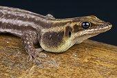 Pronk's day gecko (Phelsuma pronki), Madagascar