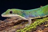 Van Heygen's daygecko (Phelsuma vanheygeni) was only discovered in 2004., Sambirano, Madagascar