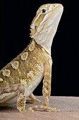 Dragon de Lawson (Pogona henrylawsoni), Australie