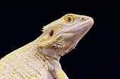 "Bearded dragon ""leucistic"" (Pogona vitticeps), captivity"