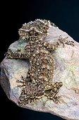 Leaf tail gecko (Saltuarius wyberba), Australia,