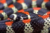 Black-banded snake (Scolecophis atrocinctus), Costa Rica