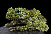 Mossy frog (Theloderma corticale), Vietnam