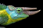 Jackson's chameleon (Trioceros jacksonii), Kenya