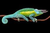 Jackson's Three-Horned Chameleon (Trioceros jacksonii jacksonii) male,