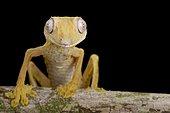 Lined Flat-tail Gecko (Uroplatus lineatus), Madagascar