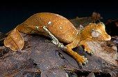 Satanic leaf-tailed gecko (Uroplatus phantasticus), Mandraka, Madagascar