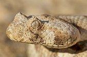 Vipère du Cap (Bitis caudalis), Namibie