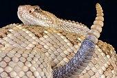 Aruba rattlesnake (Crotalus durissus unicolor), Aruba