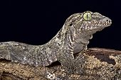 Oceanic Gecko (Gehyra oceanica), Papua New Guinea