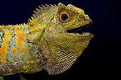 Javan Humphead Lizard (Gonocephalus chamaeleontinus), Indonesia