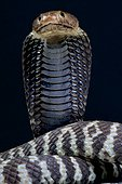 Cobra (Naja nigricincta), Namibie