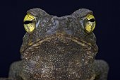 Giant river toad (Phrynoidis aspera), Indonesia