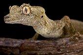 Gunther's leaf-tailed gecko (Uroplatus guentheri), Madagascar