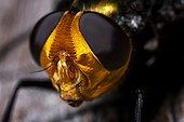 Portrait de Tachinaire (Rutilia quadripunctata), Australie