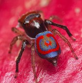 rear view of a male Maratus splendens Peacock spider showing the patterned and brightly coloured abdomen. Australia