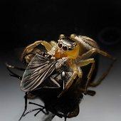 Peacok jumping spider (Maratus scutalatus) feeding, Australia