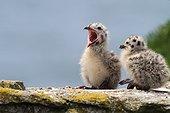Herring Gull (Larus argentatus), chicks, île d'Yeu