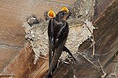 Barn swallow (Hirundo rustica), adult with chicks at nest