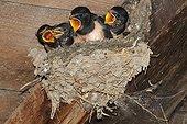 Barn swallow (Hirundo rustica), chicks at nest