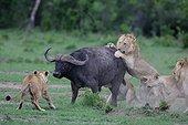 Lion (Panthera leo) et Buffle (Syncerus caffer), attaque crépusculaire, Masaï Mara, Kenya