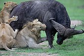 Lion (Panthera leo) and Buffalo (Syncerus caffer), twilight attack, Masai Mara, Kenya