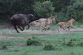 Lion (Panthera leo) and Buffalo (Syncerus caffer), twilight attack , buffalo puts the Lions out, Masai Mara, Kenya