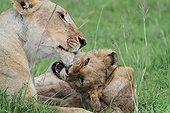 Lion (Panthera leo), lionne et lionceau, Masaï Mara, Kenya