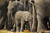 African Bush Elephant (Loxodonta africana), Namibia
