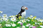 Atlantic Puffin (Fratercula arctica), Shetland Islands, Scotland
