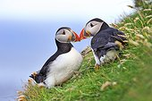 Atlantic Puffin (Fratercula arctica), Shetland Islands, Scotland