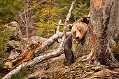 Brown bear (Ursus arctos), Bavarian Forest National Park, Germany
