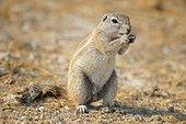 Cape ground squirrel (Xerus inauris), Etosha, Namibia