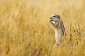 Cape ground squirrel (Xerus inauris), Etosha, Namibia