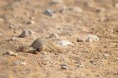 Cape ground squirrel (Xerus inauris) digging, Etosha, Namibia