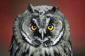 Portrait of a Long-eared owl (Asio otus)