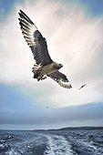 Great skua (Stercorarius skua) in flight, Shetland, UK