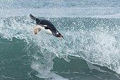 Gentoo penguins( Pygoscelis papua) surfing on a beach, Sea Lion Island, Falkland Islands