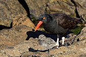 Black Oystercatcher (Haematopus ater) with is chick, Carcass Island , Falkland Islands