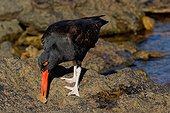 Black Oystercatcher (Haematopus ater) dissecting a shell, Carcass Island , Falkland Islands