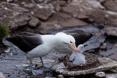 Display of Black-browed Albatross when a parent goes fishing and leaves the other hatching chick , Saunders Island, Falkland Islands