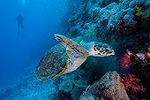Hawksbill sea turtle (Eretmochelys imbricata), Red sea, Egypt