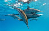 Spinner dolphins (Stenella longirostris) mating, Sataya reef , Red Sea, Egypt