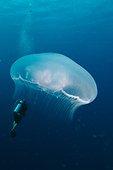 Aurelia jellyfish (Aurelia aurita) and diver in the background (optical effect) , Ras Gomma , Straits of Tiran , Egypt
