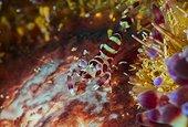 Coleman's shrimp (Periclimenes colemani) juvenile on Fire Urchin (Asthenosoma varium), Bali, Indonesia