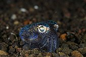 Bobtail squid (Euprymna berryi), Bali, Indonesia