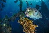Green humphead parrotfish (Bolbometopon muricatum), Indonesia