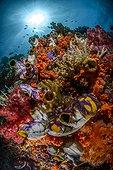 Ascidies solitaires (Polycarpa aurata) et coraux mous sur un récif, Raja Ampat, Indonésie