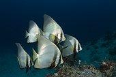 Dusky batfish (Platax pinnatus), Raja Ampat, Indonesia