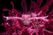 Symbiotic crab with eggs in red coral , Bali, Indonesia